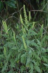 lesser-ragweed