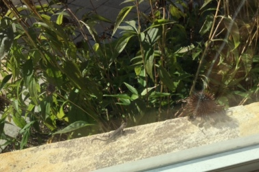 This little guy has the right idea. Lizardo, basking on the window sill next to me.