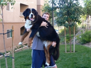 blogging, Monday, dogs, pets, Burmese Mountain Dog, S. A. Young