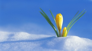 spring, Boston, Monday, blogging, flowers, crocus, S. A. Young