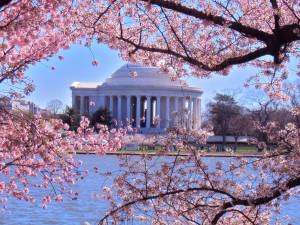 Snoopy, Peanuts, blogging, Monday, S. A. Young, Jeopardy, cherry blossoms, History Channel